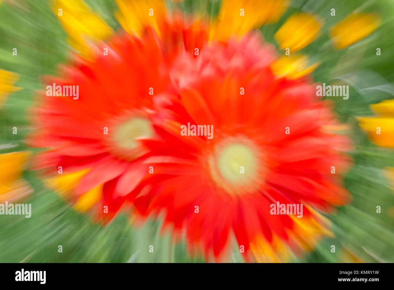 Zoom Burst of Gerbera Mega Revolution Bright Red - Stock Image