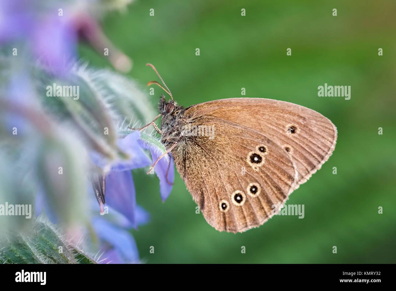 Ringlet Butterfly Aphantopus hyperantus - Stock Image