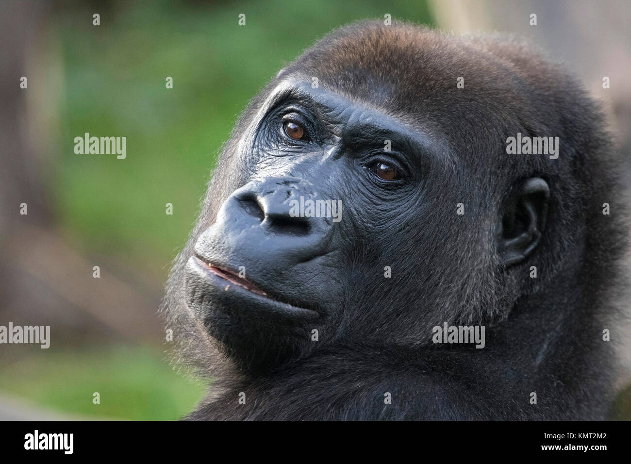 The Mountain Gorilla in the zoo - Stock Image