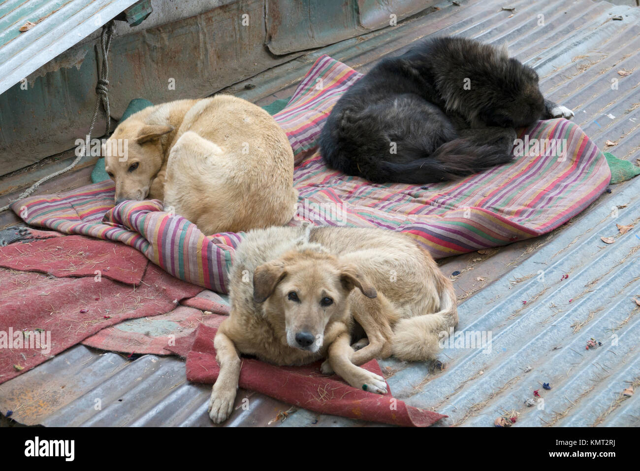 Indian Stray Dogs Stock Photos & Indian Stray Dogs Stock