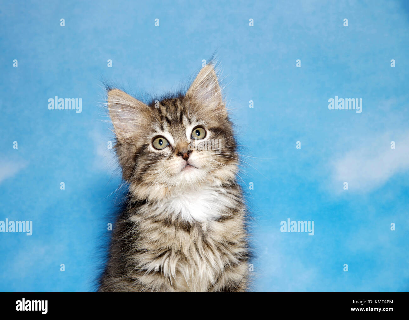 Portrait of a small black tan and white tabby kitten against a blue background, sky with clouds. Looking up to viewers - Stock Image