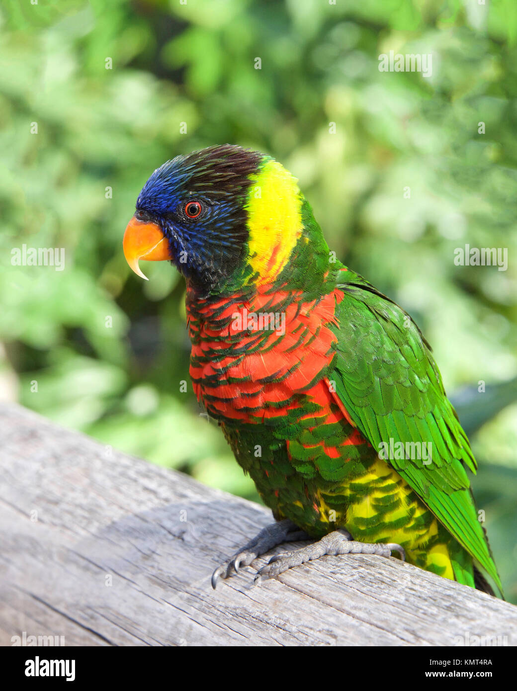 One Lorikeet sitting on a wood fence watching viewer. Lories and lorikeets are small to medium-sized arboreal parrots - Stock Image