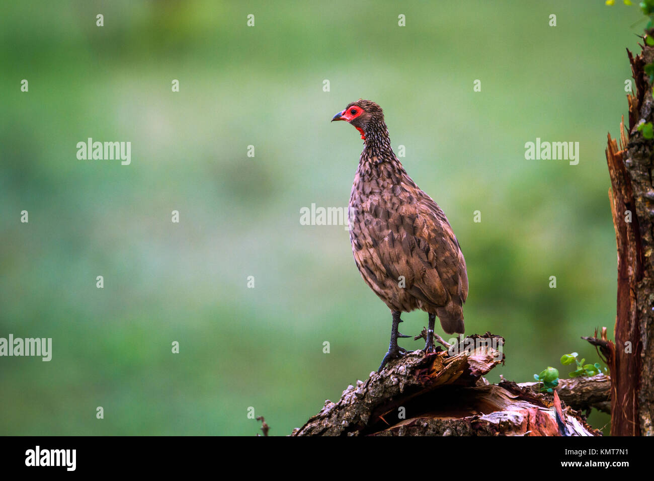 Swanson's spurfowl in Kruger national park, South Africa ; Specie Pternistis swainsonii family of Phasianidae - Stock Image