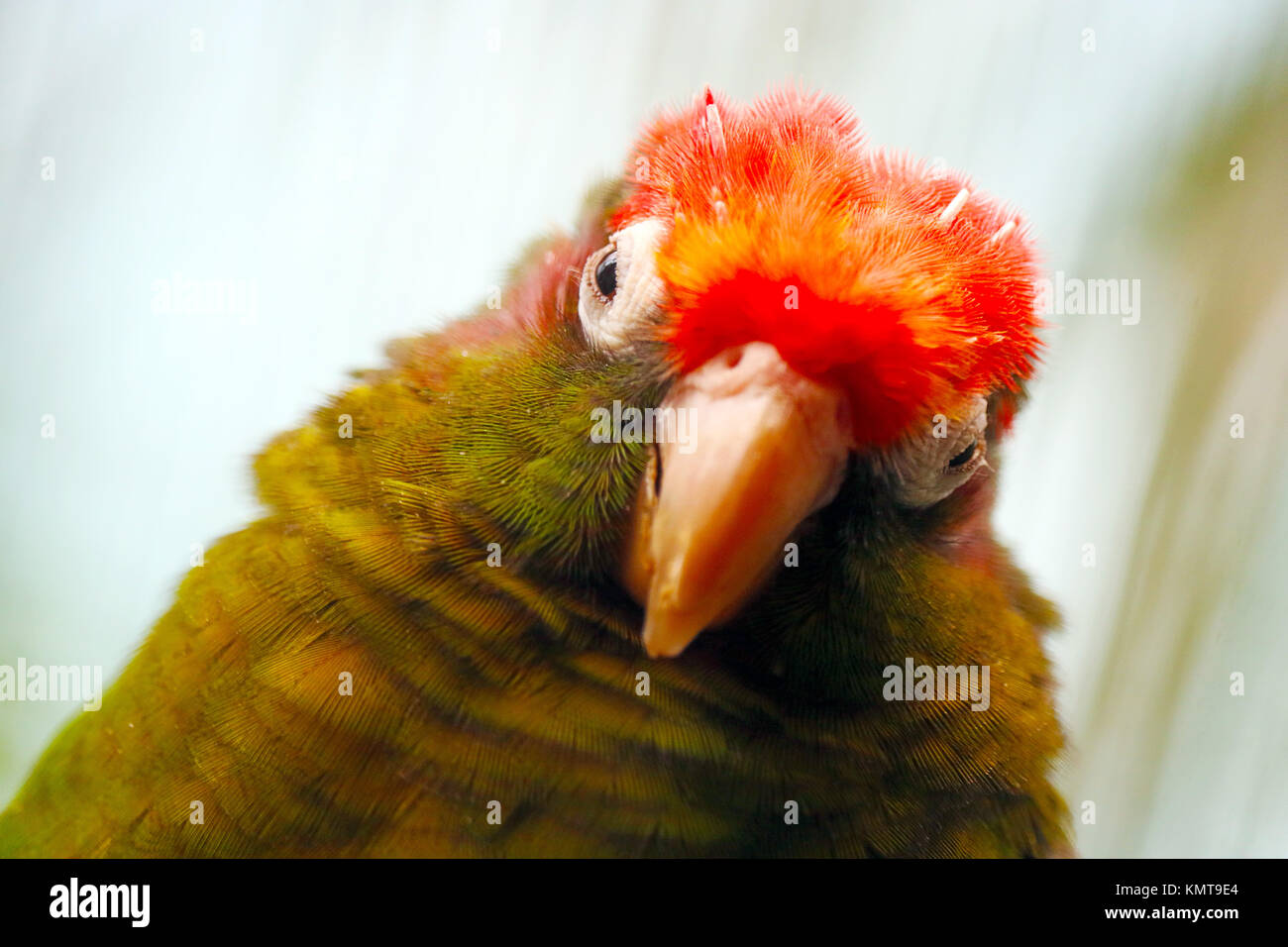 red head tilted to the side of a rose-headed or rose-crowned parakeet parrot bird - Stock Image