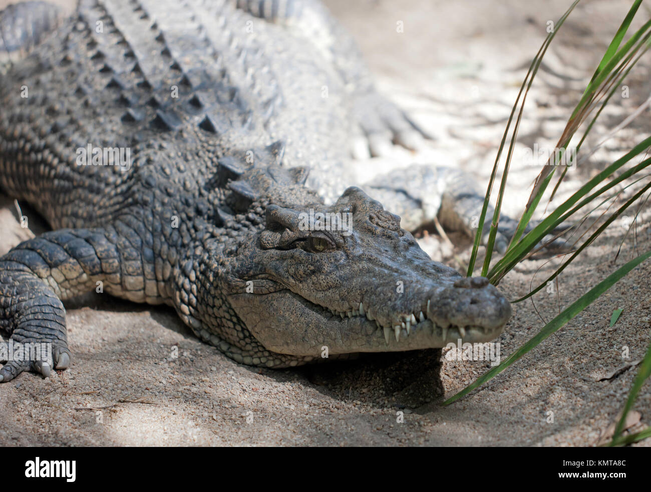 view of a large Estuarine  Crocodile at Hartley's Crocodile Adventures, Captain Cook Highway, Wangetti, Queensland, - Stock Image