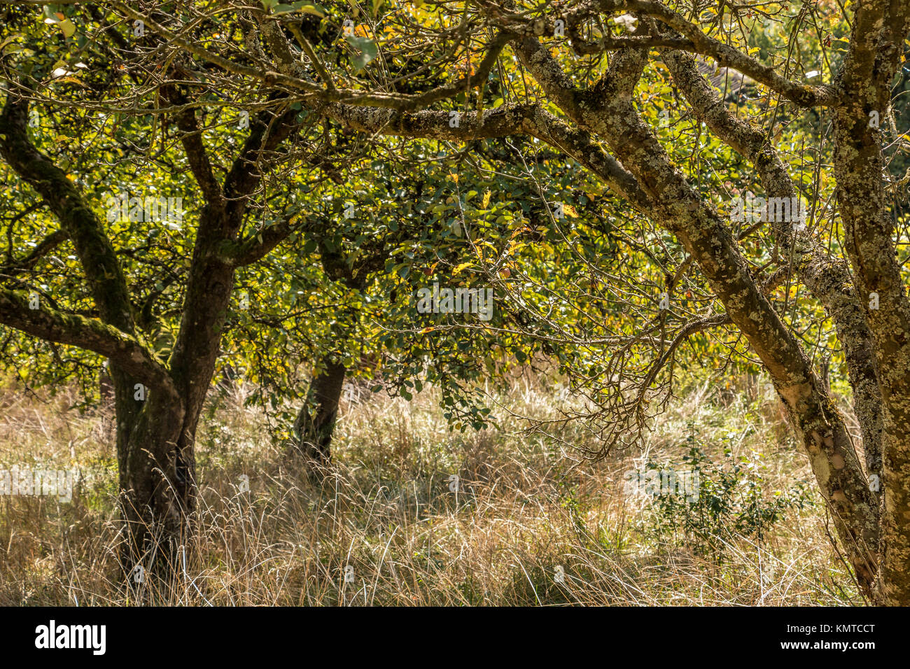 Wilderness in the garden with old apple trees and long dry grass - Stock Image