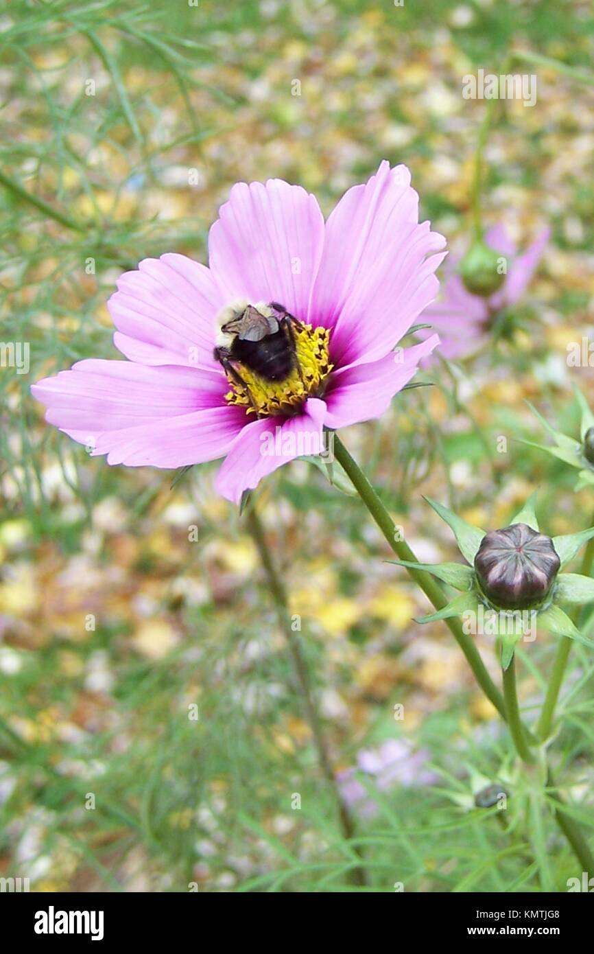 A Single Bumble Bee On A Pink Cosmo Blossom In The Fall Stock Photo