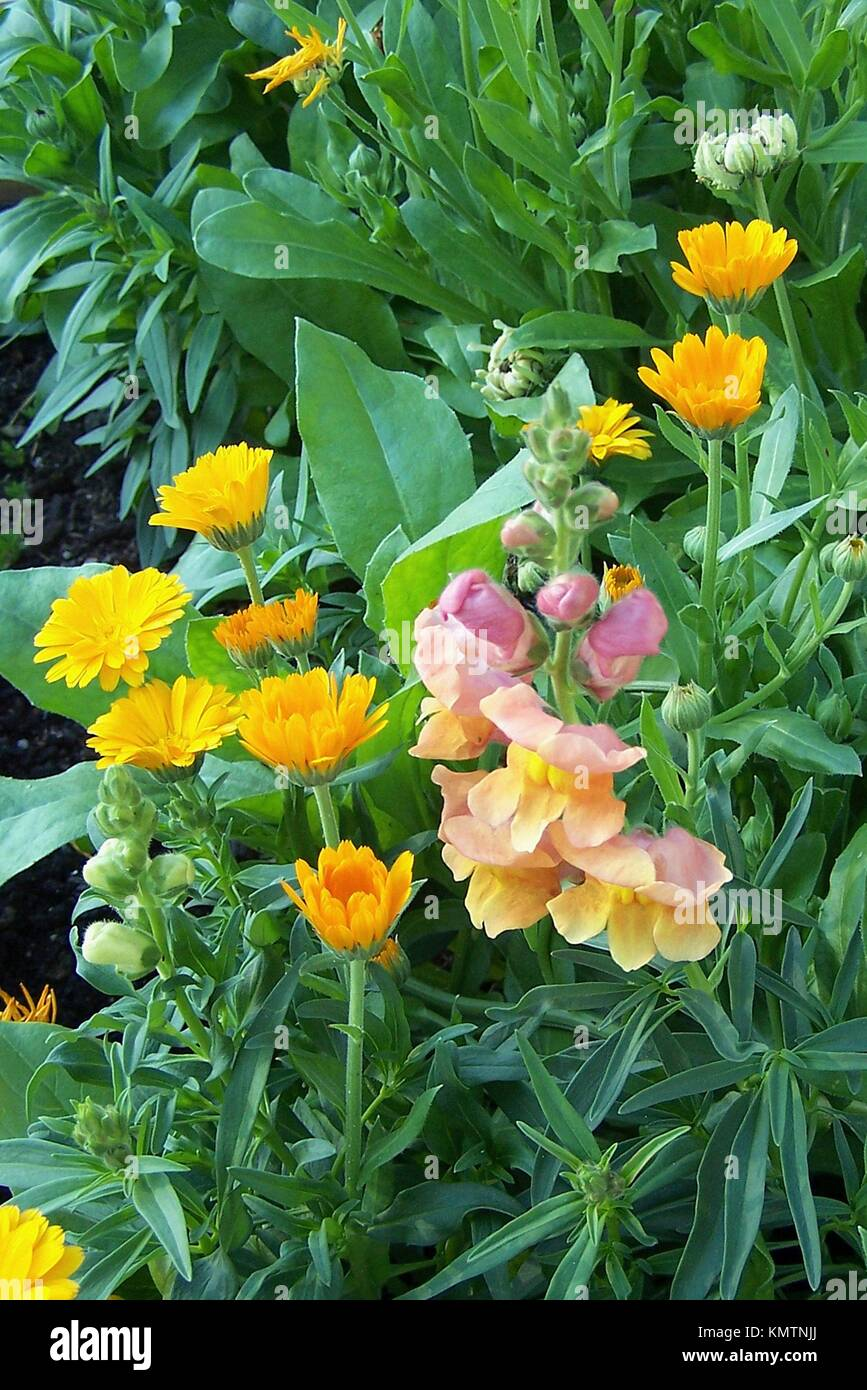 A group of snapdragons and calendula in an annual bed. Stock Photo