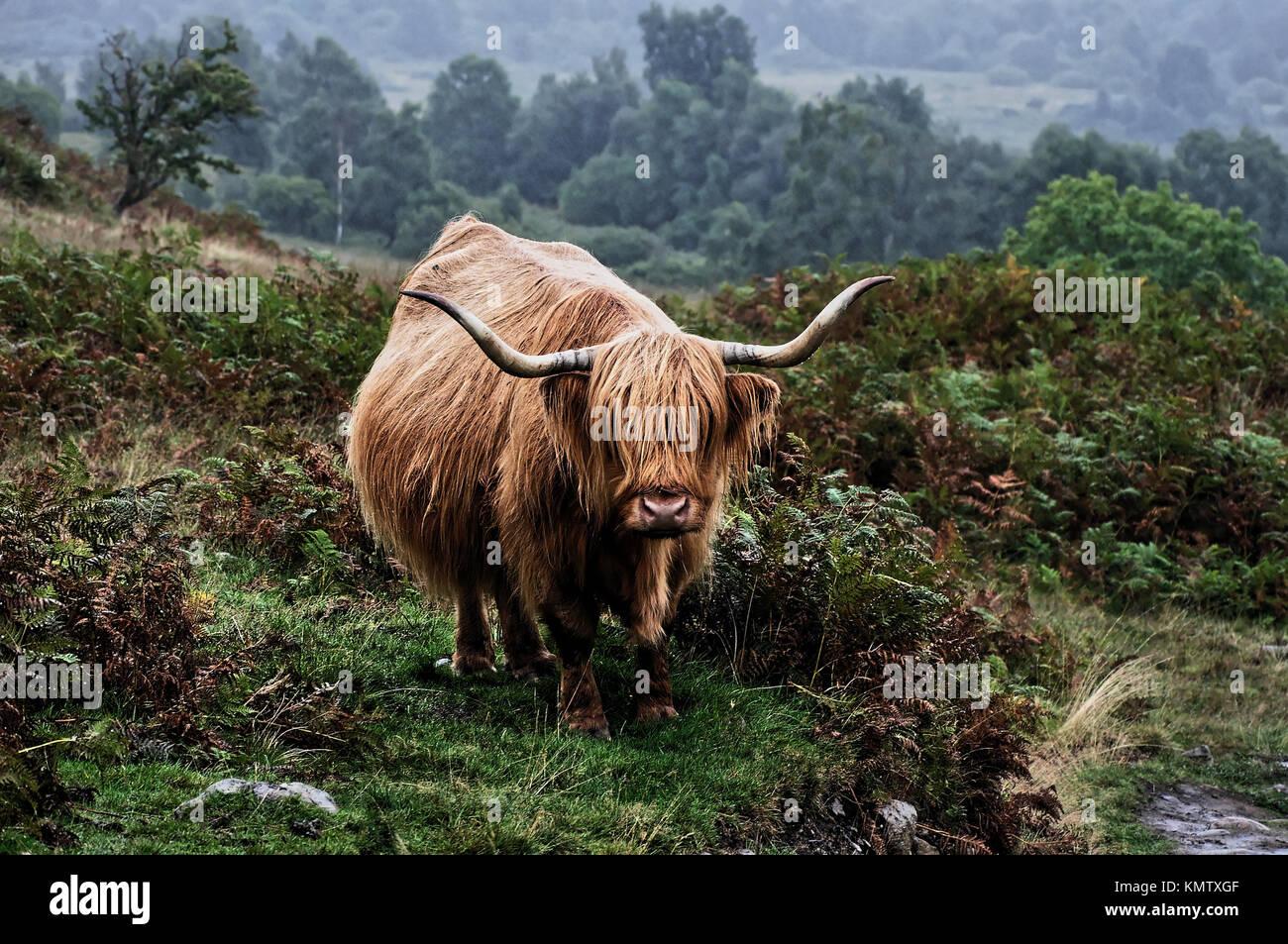 Highland cattle, Conic Hill, Scotland, United Kingdom - Stock Image