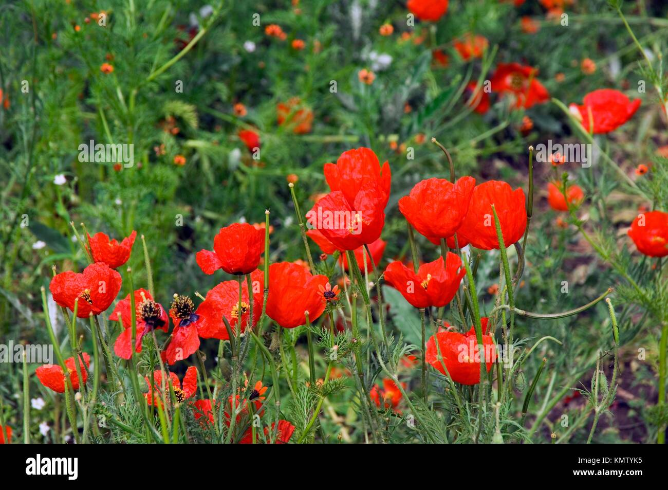 Field of red poppies, Kyrgystan - Stock Image