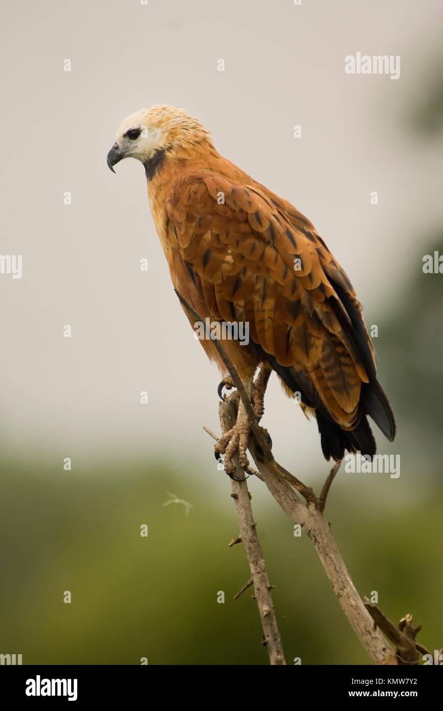 Black-collared Hawk , Pantanal, Mato Grosso, Brazil / Busarellus nigricollis - Accipitridae Family – Falconiformes - Stock Image