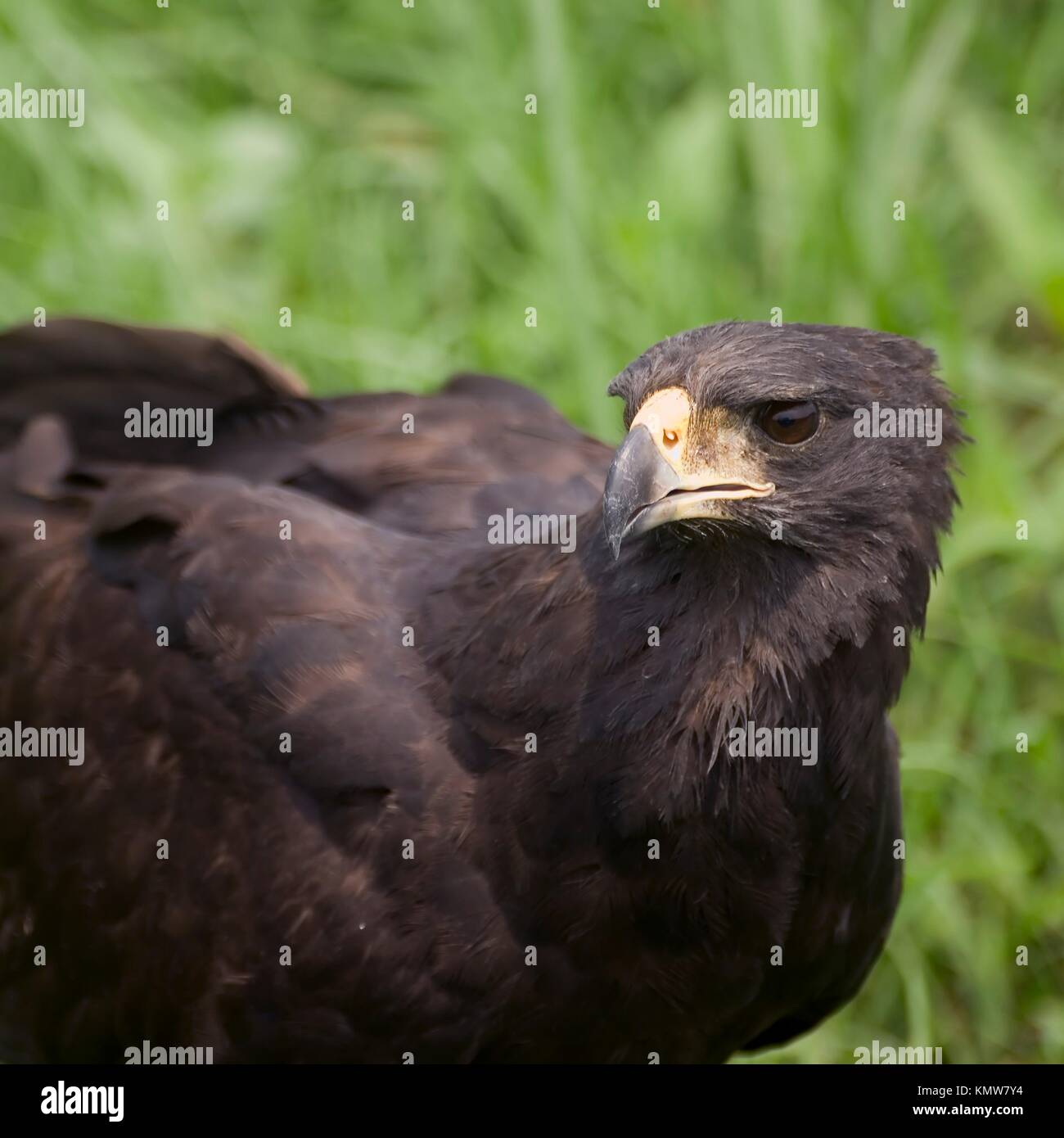 Great Black Hawk , Pantanal, Mato Grosso, Brazil / Buteogallus urubitinga - Accipitridae Family – Falconiformes - Stock Image