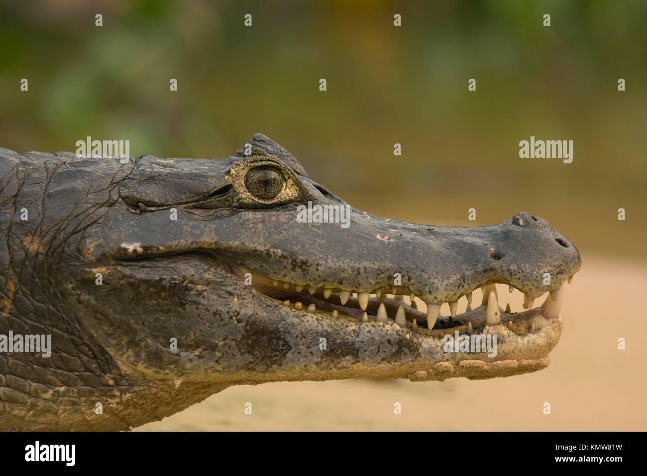 Yacare Caiman, Caiman yacare, Alligatoridae family, Crocodilia order, Pantanal, Mato Grosso, Brazil - Stock Image