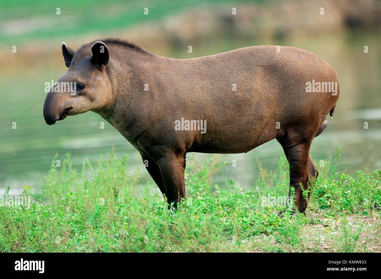Brazilian Tapir or Lowland Tapir, Tapirus terrestris, Tapiridae family, Perissodactyla order, Pantanal, Mato Grosso, - Stock Image