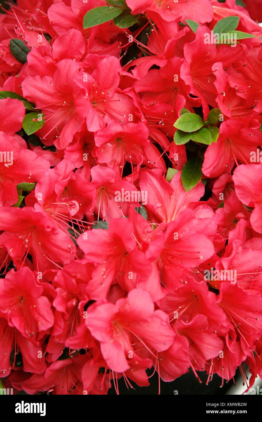Rhododendron ponticum Kew Gardens, London - Stock Image