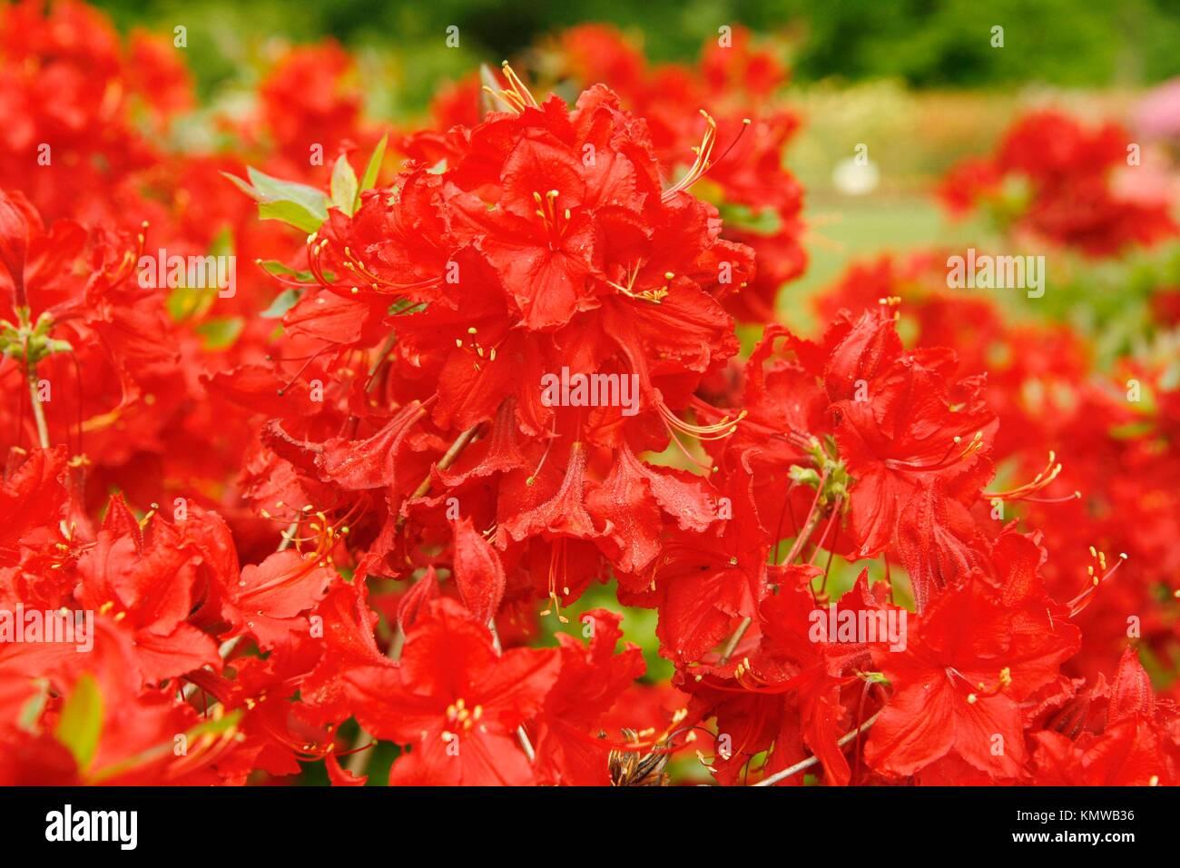 Royal Botanic Gardens Kew in Richmond, London, England Azalea garden Rhododendron hybr ´Wallowa red´ - Stock Image