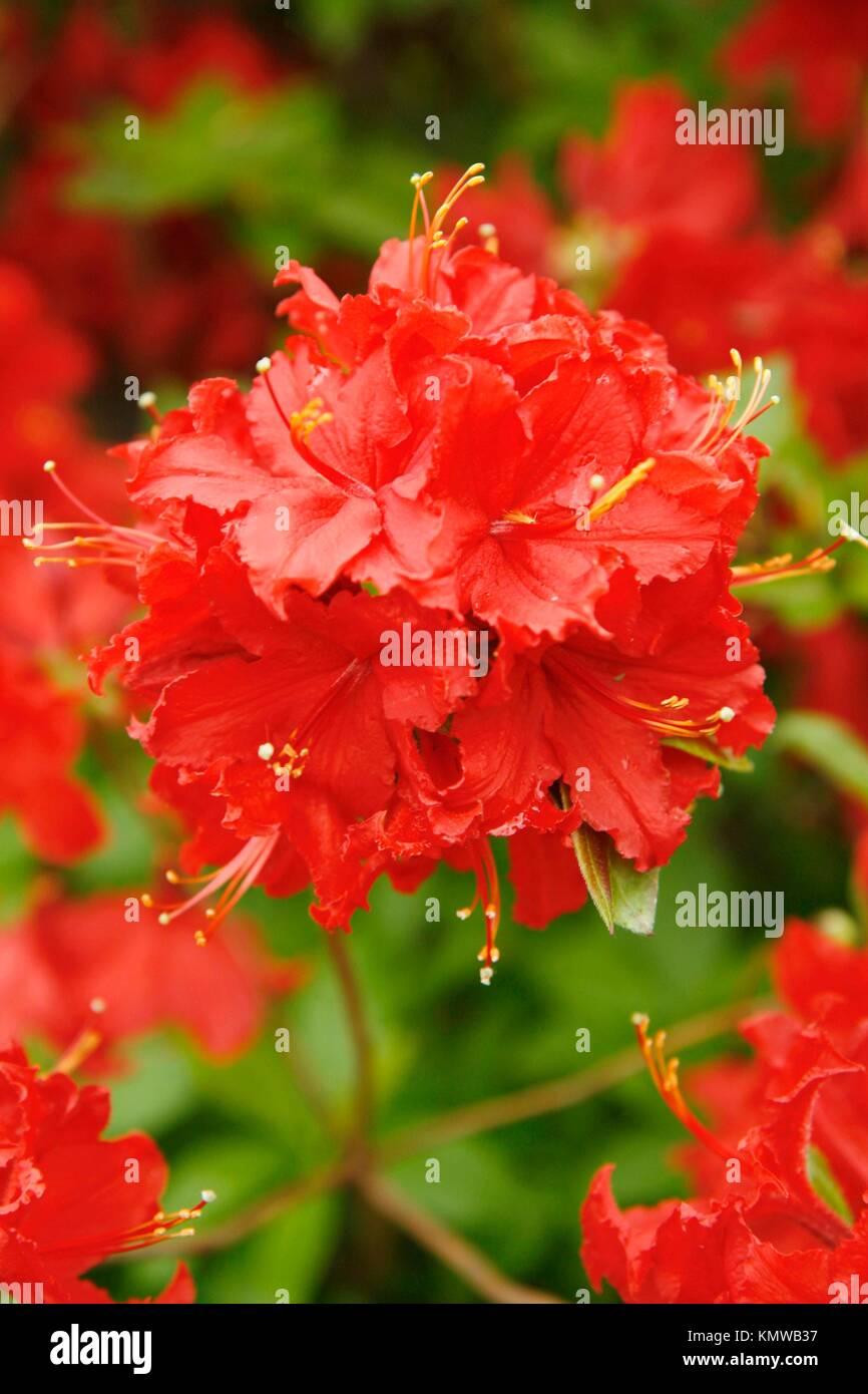 Royal Botanic Gardens Kew in Richmond, London, England Azalea garden Rhododendron hybr ´Norma´ - Stock Image