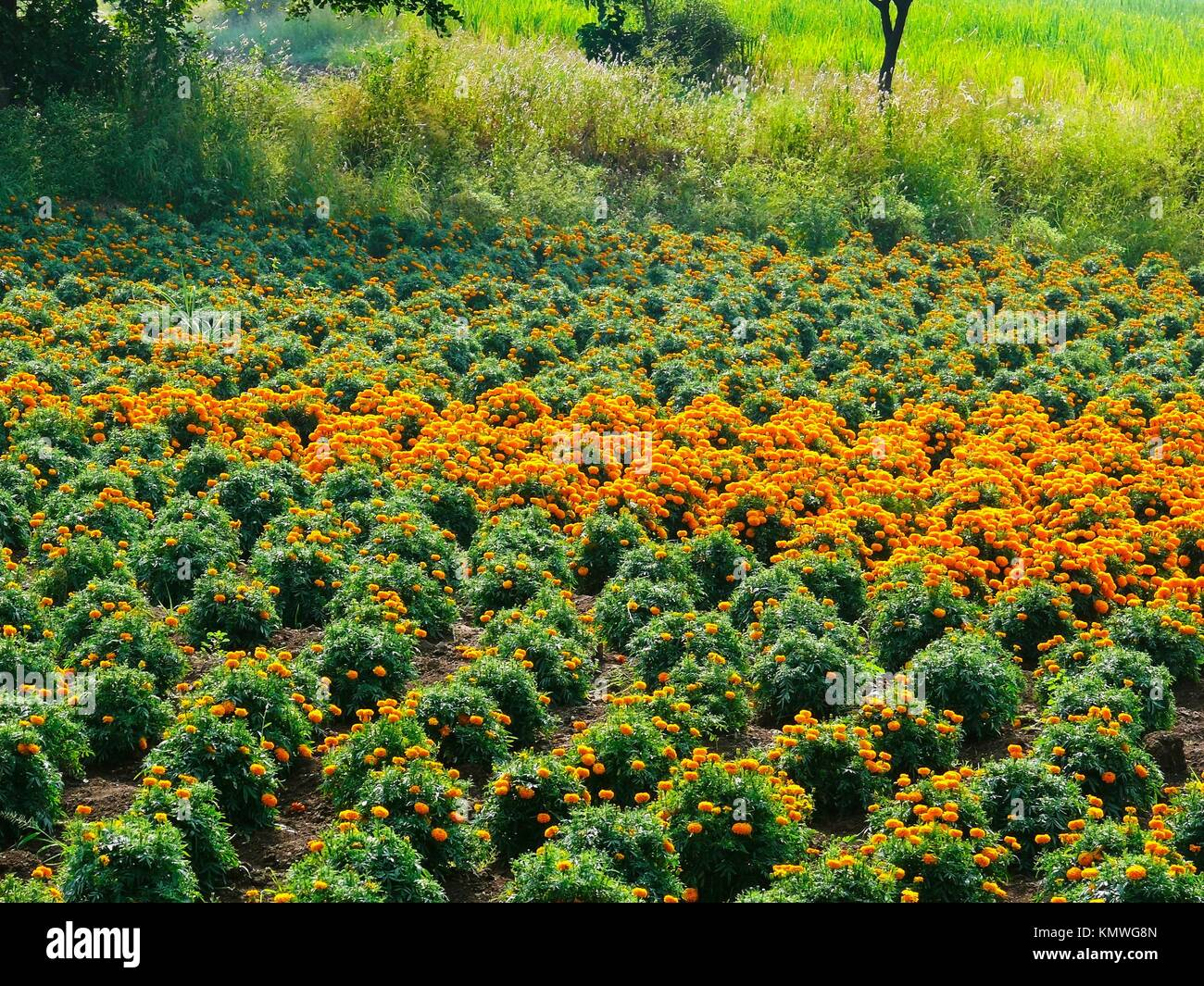 Marigold flowers, Tagetes erecta, Asteraceae - Stock Image