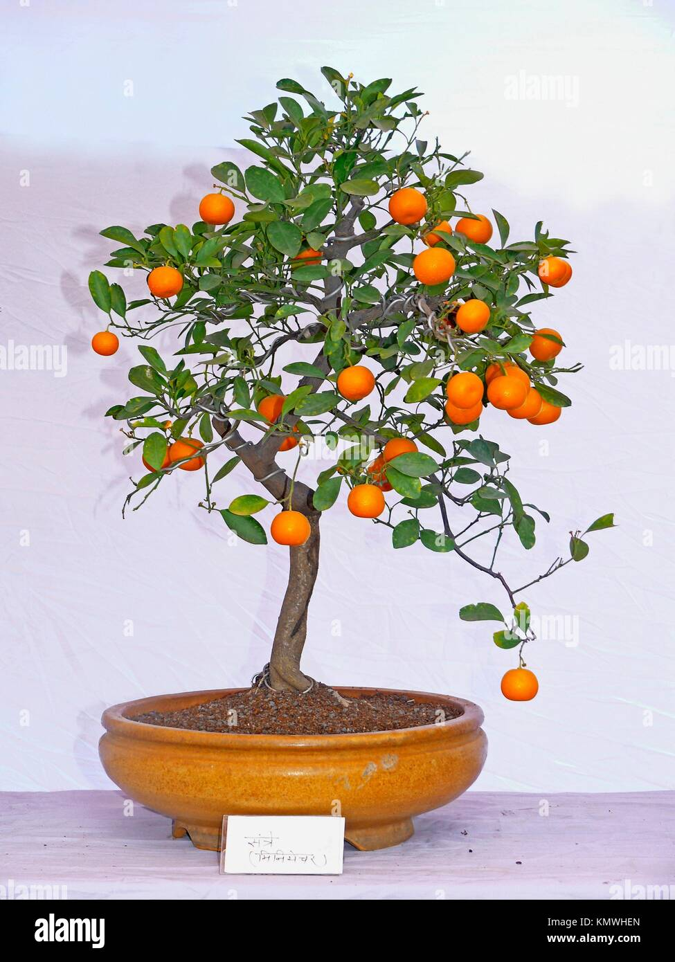 Orange Fruit Bonsai Tree High Resolution Stock Photography And Images Alamy