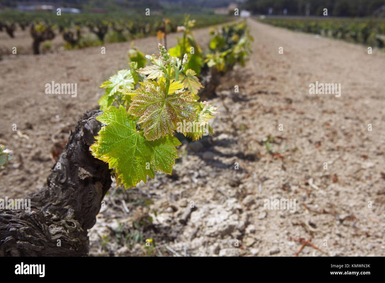 vineyard first spring sprouts in row field in Spain for wine production Stock Photo