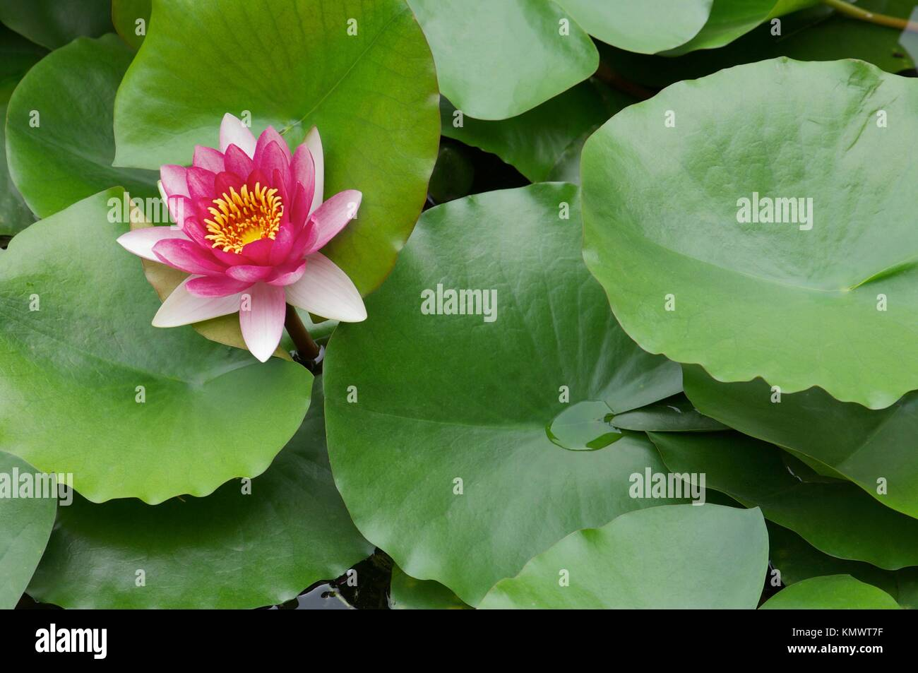 Lotus flower florist stock photos lotus flower florist stock lotus flower in the forbidden city in beijing stock image mightylinksfo
