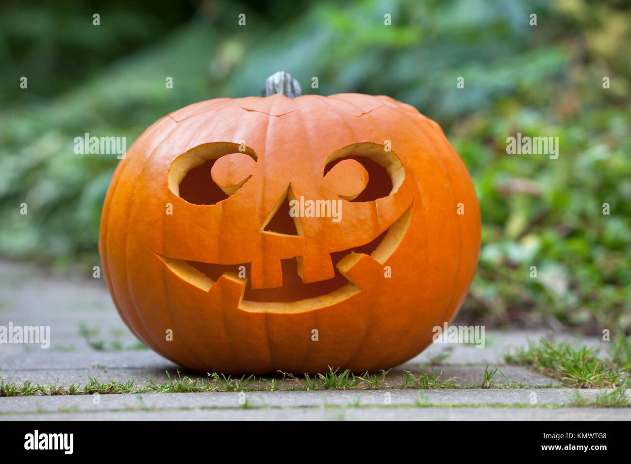 Halloween Pumkin In The Garden Stock Photo Alamy It's native to north america and particularly popular around thanksgiving and halloween (1). https www alamy com stock image halloween pumkin in the garden 167754504 html