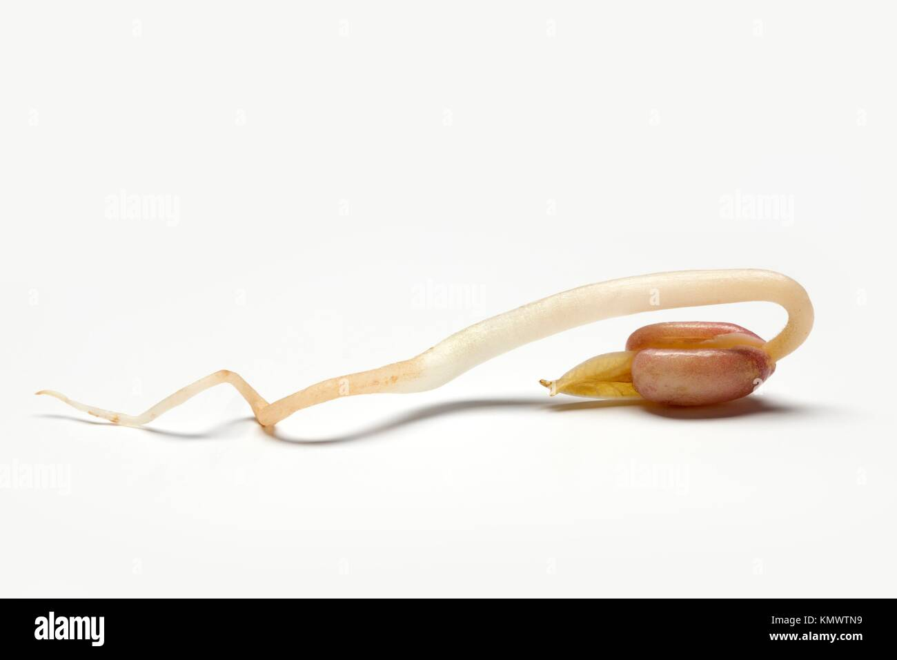 One whole bean sprout, seedling close up - Stock Image