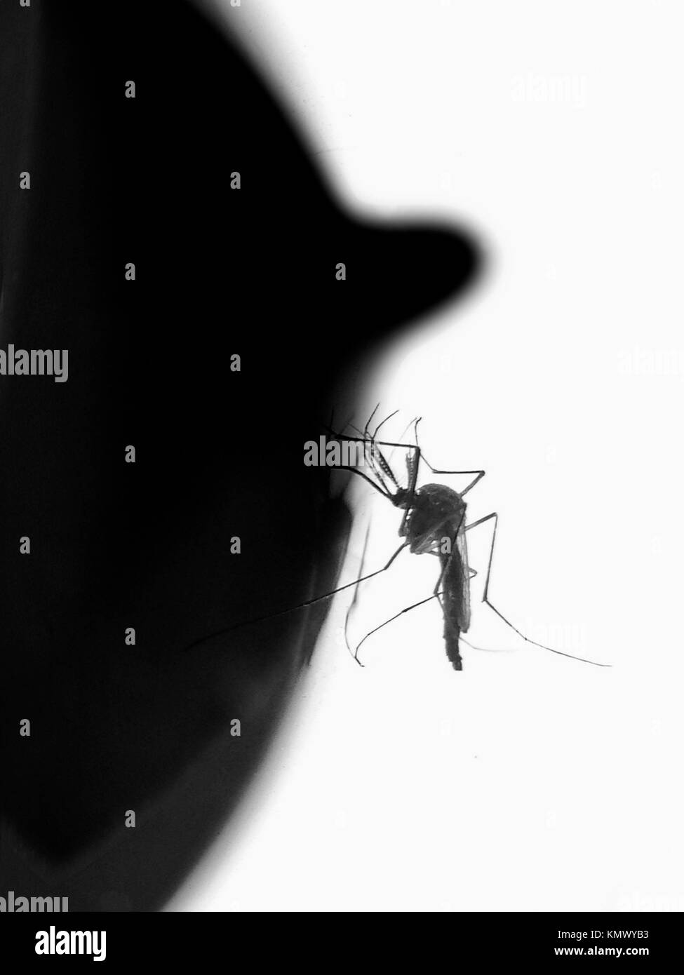 Mosquito - Stock Image