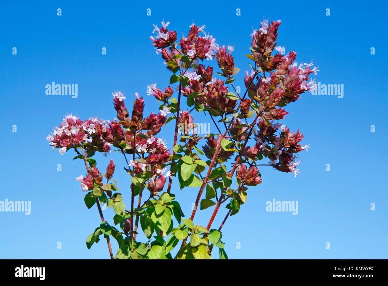 Marjoram Origanum vulgare - Stock Image