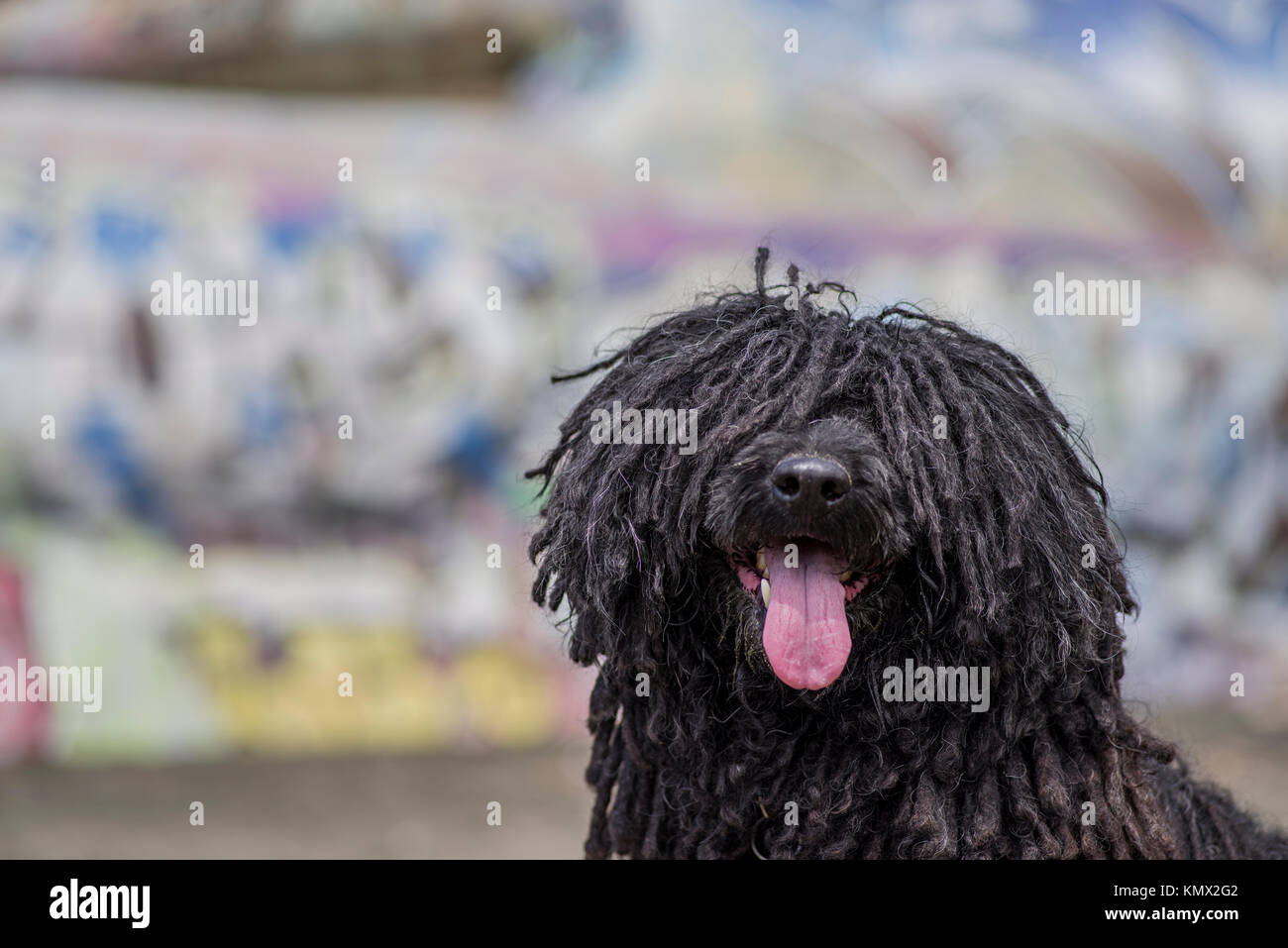 Show Dog Hungarian Puli Looking at the Camera and Posing in Front of a Graffiti Wal with Many Colors at Fort Funston Beach in San Francisco Stock Photo
