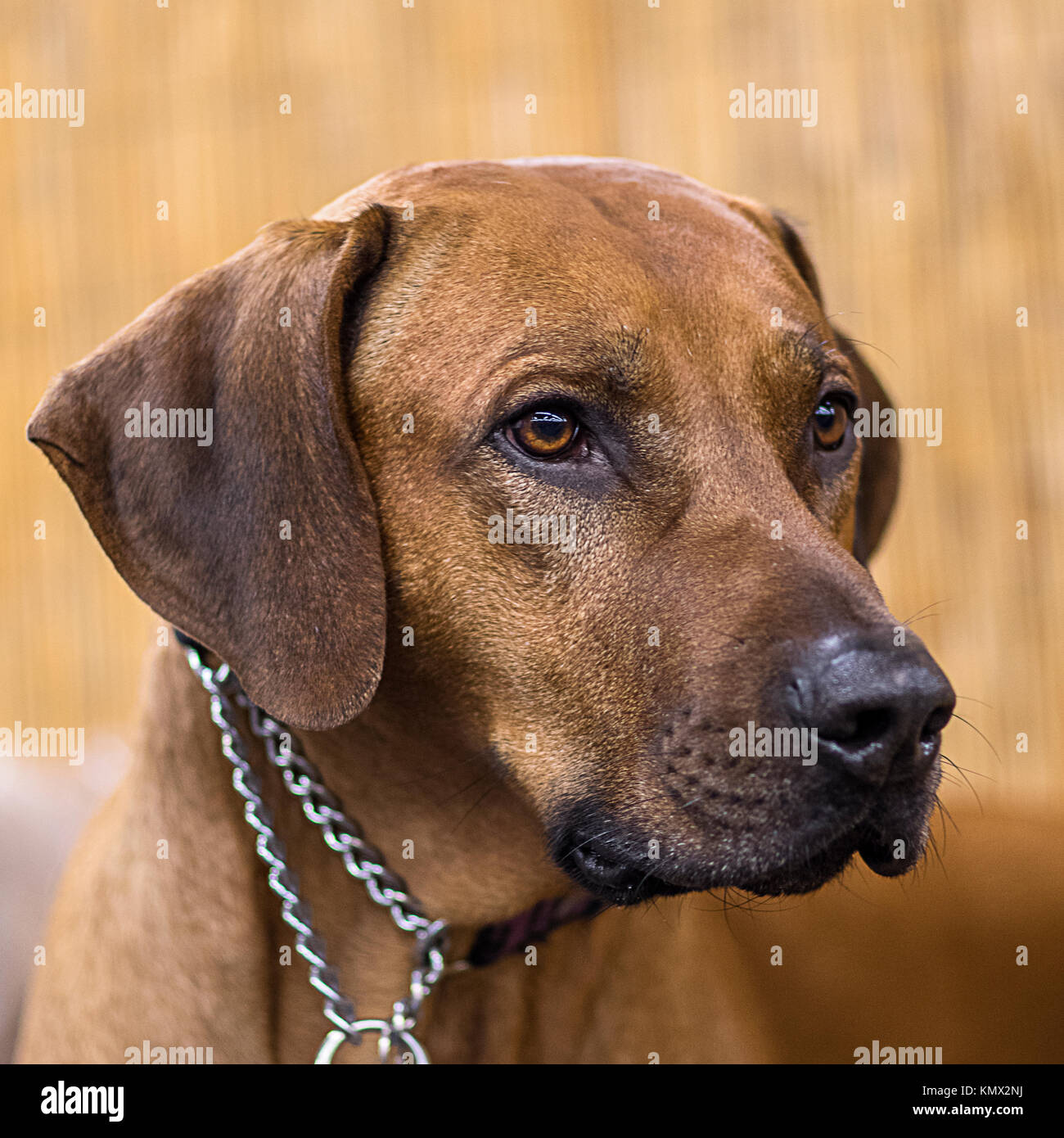 Rhodesian Ridgeback, African Lion Hound, Black Nose, Show Dog Portrait in Front of a Blurry Bamboo Backdrop - Stock Image