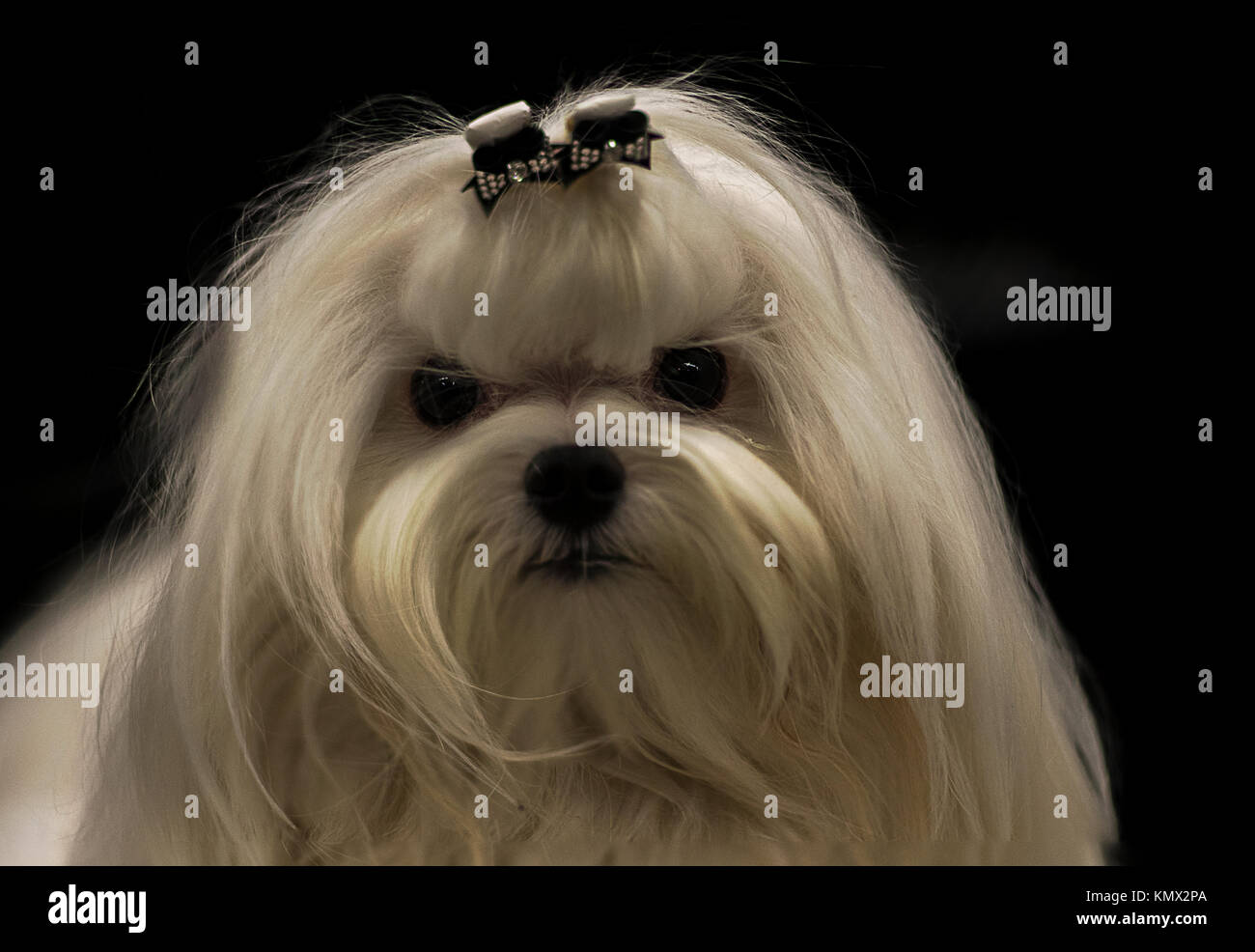 White Show Groomed Maltese Dog with Hair Bow in Front of Black Background, Long Fur, Toy Group Stock Photo