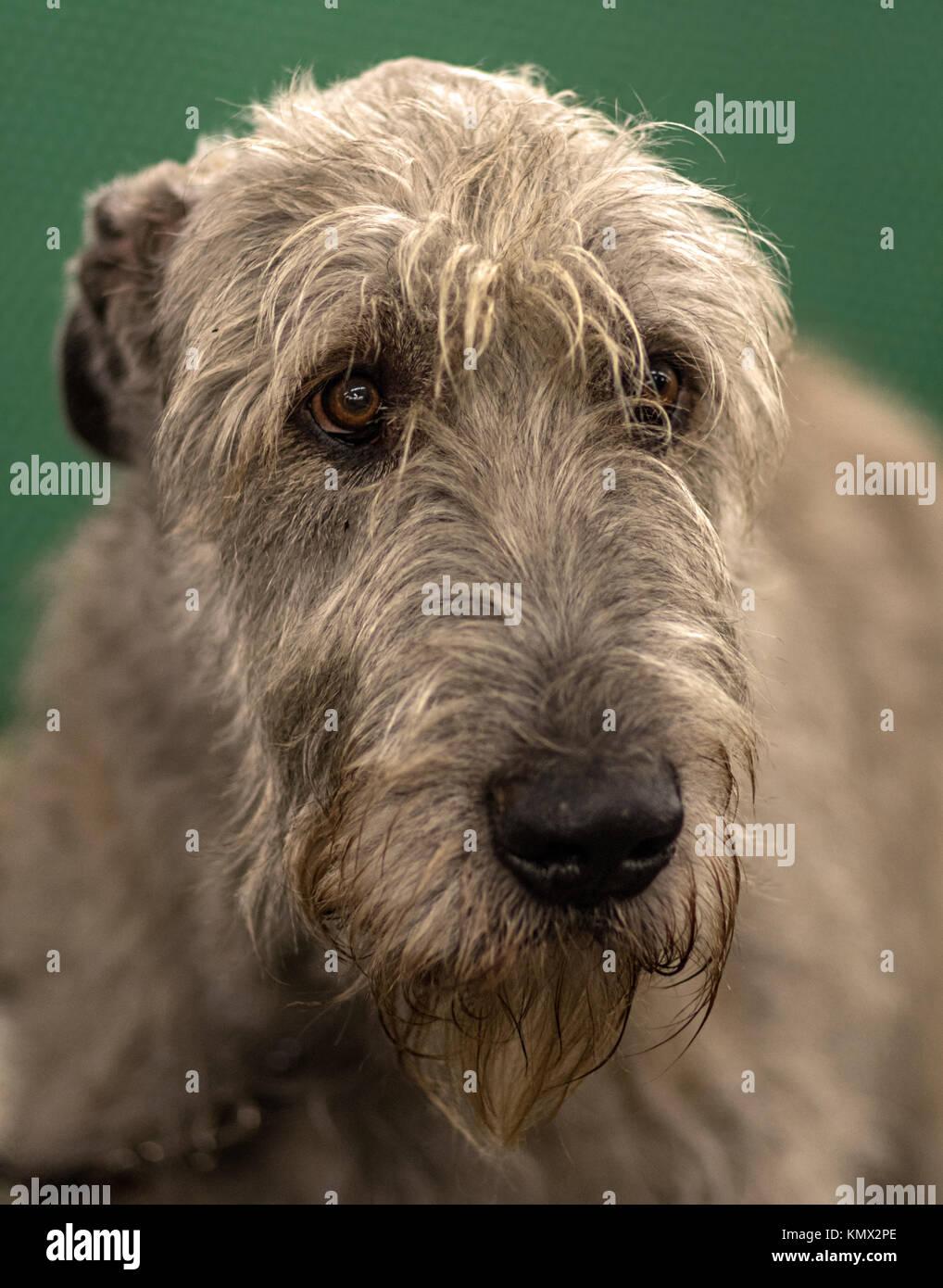 Irish Wolfhound Portrait, Oblique Profile, Green Background, Wirehair Show Dog Trim Stock Photo