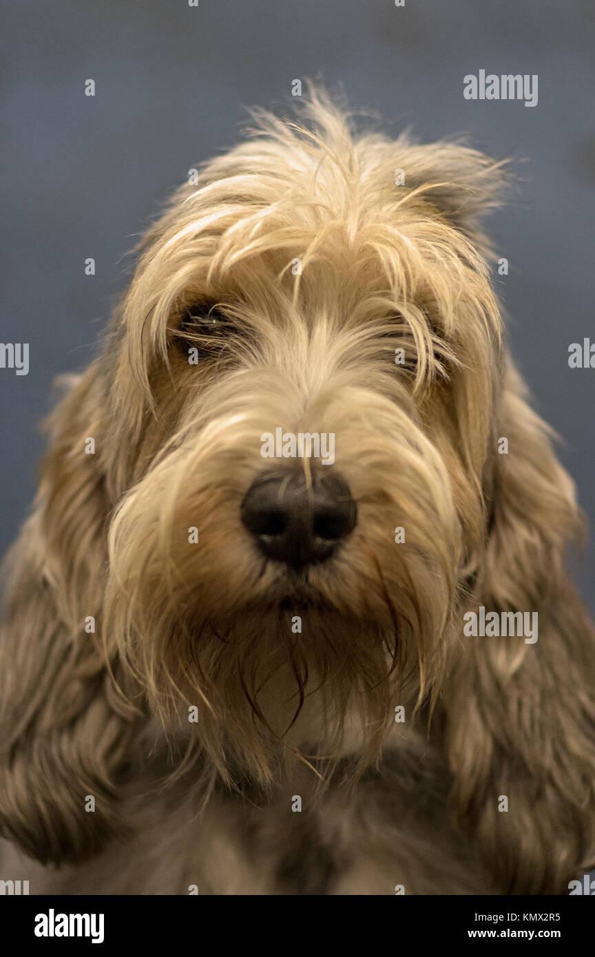 Petit Basset Griffon Vendéen, PBGV, French Hunting Dog, Portrait Posed Photo on Blue Gray Background, Show Dog Stock Photo