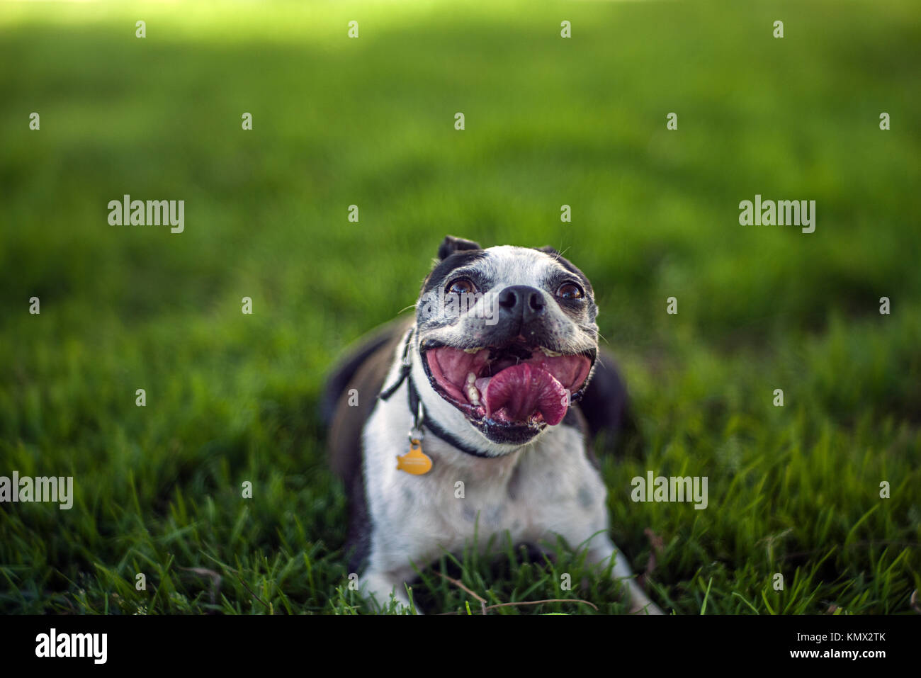 Smiling French Bulldog Lying on Grass Playing Fetch in a City Dog Park with a Blurry Background Stock Photo