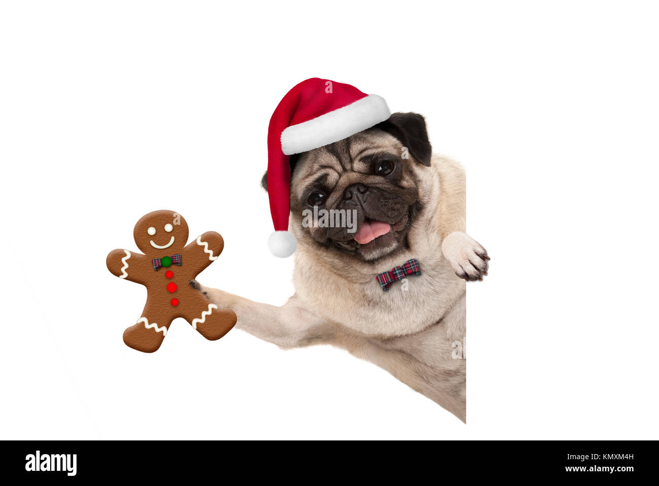 smiling Christmas pug dog holding up gingerbread man and wearing Santa hat, with paw on white banner, isolated - Stock Image