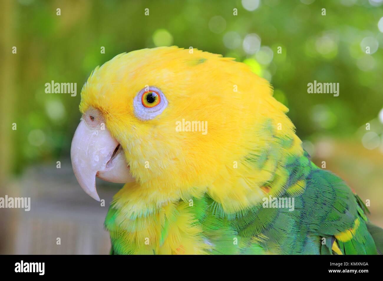 Amazon Parrot Yellow headed Oratrix Central America Stock Photo