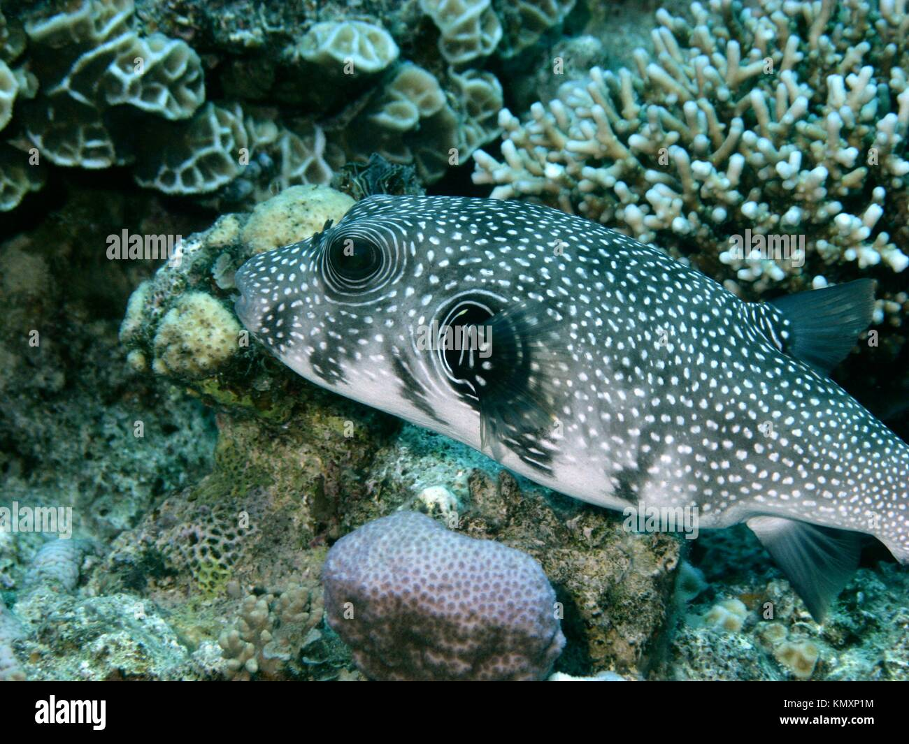 V9EG0919  Pufferfish, a tropical coralfish  Location: Red Sea - Stock Image