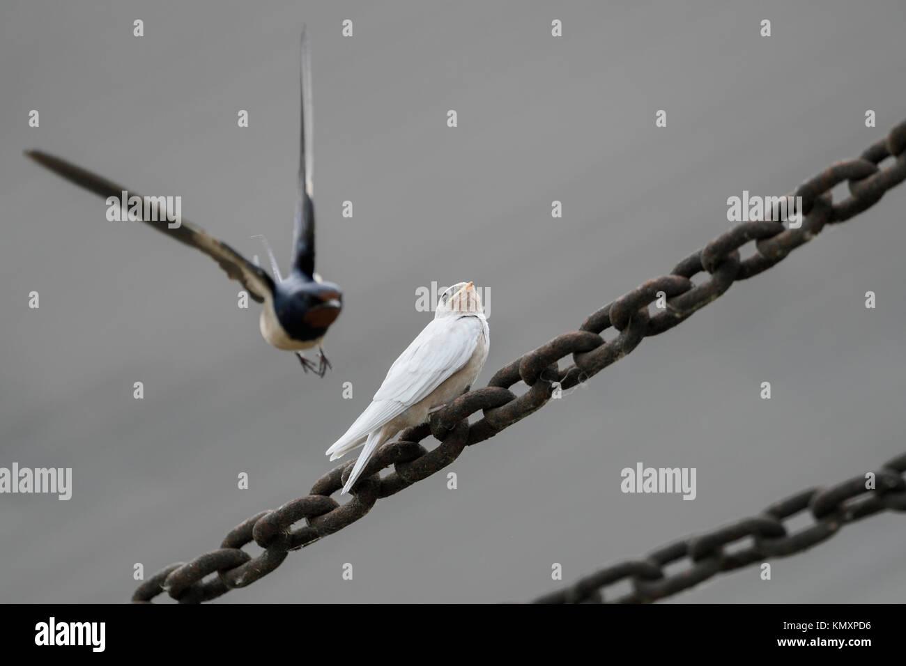 Barn Swallow / Rauchschwalbe ( Hirundo rustica ), fledged, white plumage, gene mutation, leucistic, leucism, with - Stock Image