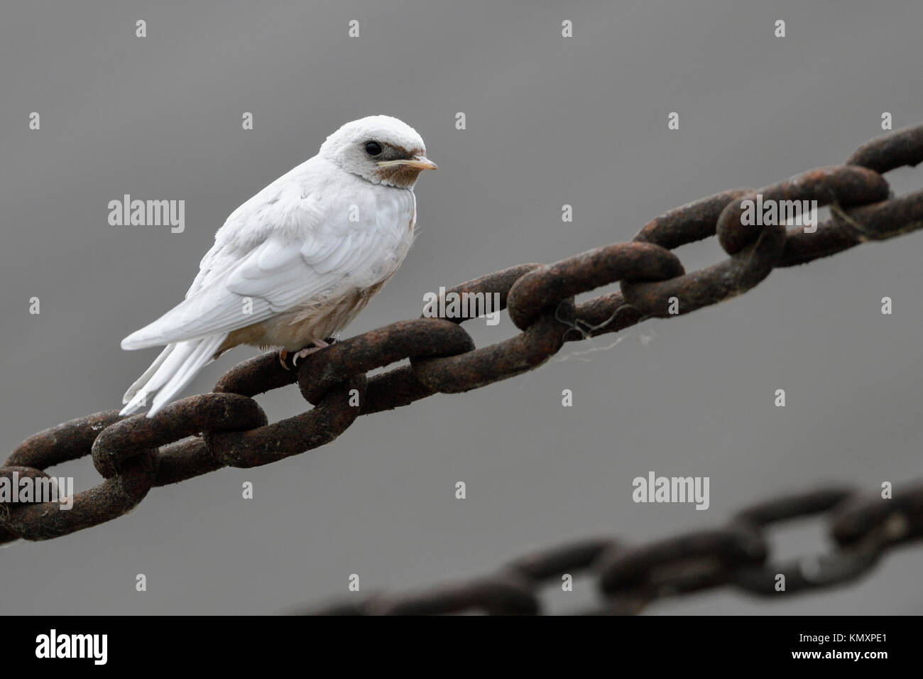 Barn Swallow / Rauchschwalbe ( Hirundo rustica ), fledged, gene defect, white plumage, leucistic, leucism, perched - Stock Image