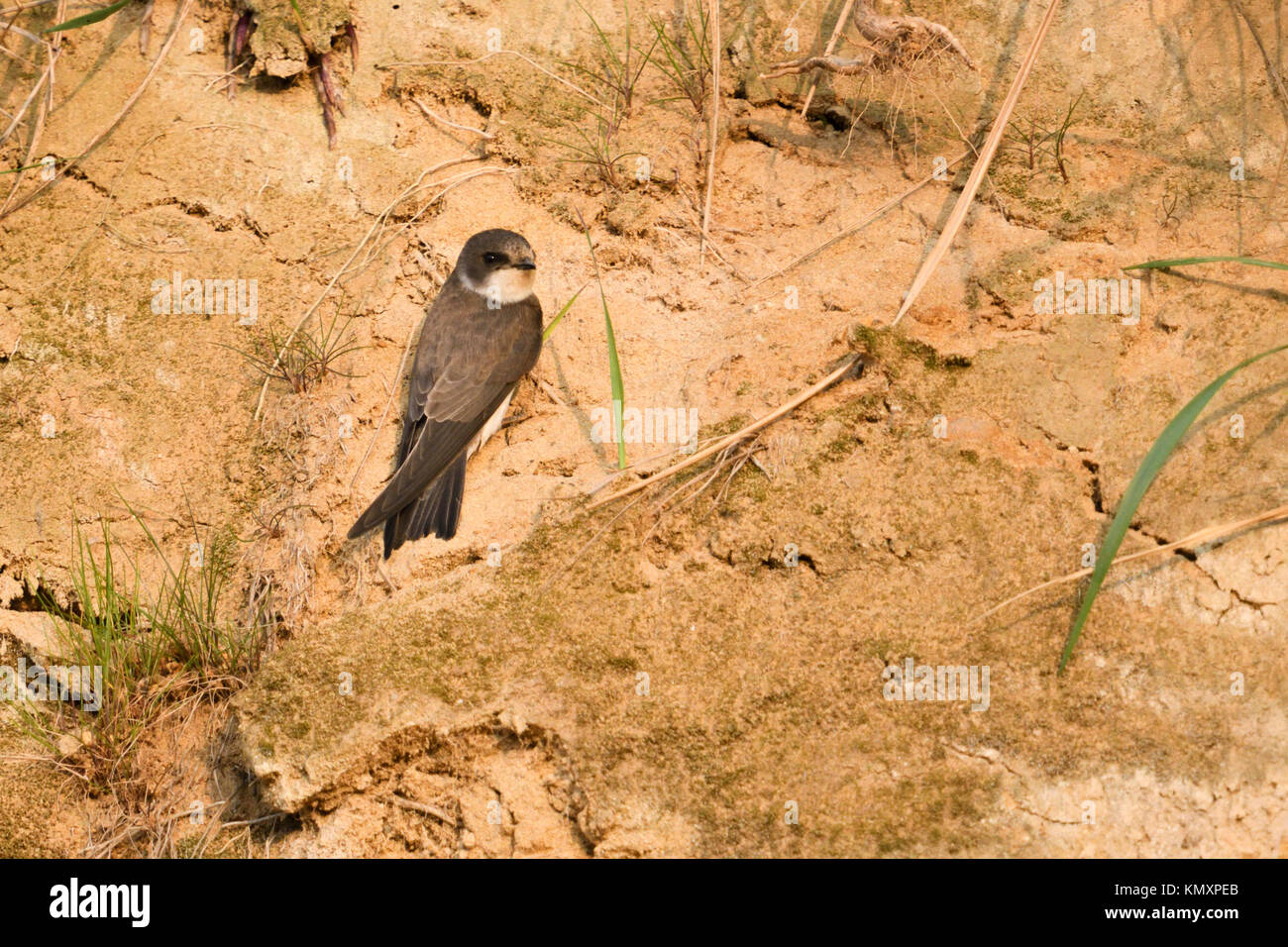 Sand Martin / Bank Swallow / Swallow ( Riparia riparia) just arrived in its breeding territory, searching for a Stock Photo