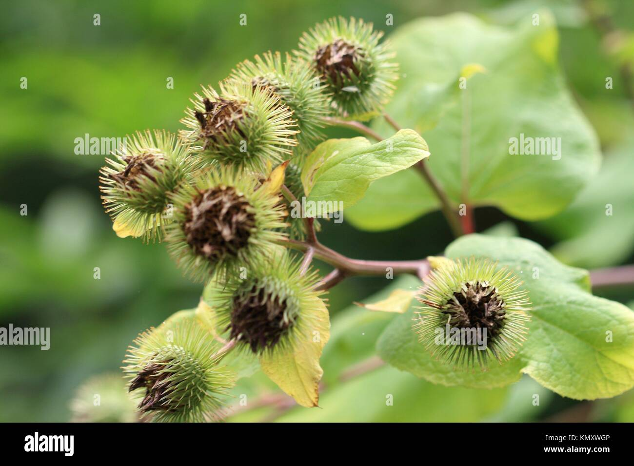 Burdock Arctium lappa or family, Asteraceae Biennial plant to flower which clings to clothing and hair of animals - Stock Image
