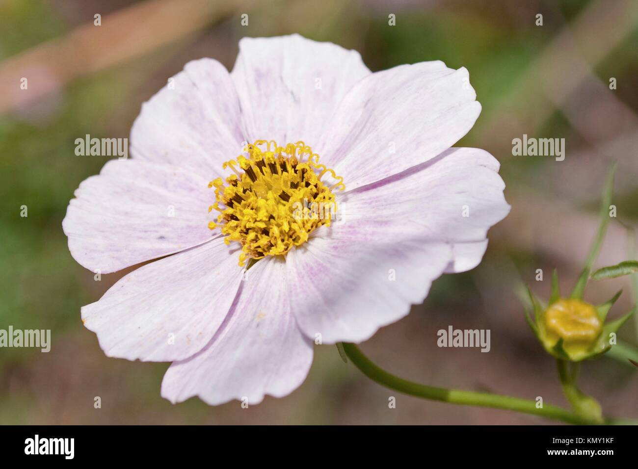 Cosmo flower stock photos cosmo flower stock images alamy a white cosmo bloom with pink speckles stock image mightylinksfo