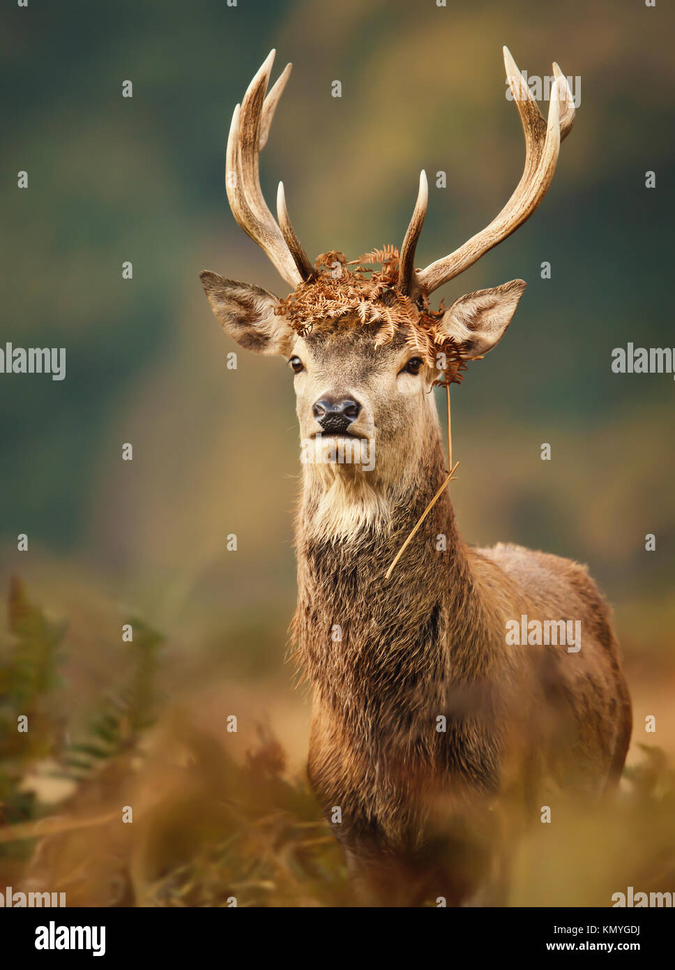Isolated young red deer stag with a crown during the rutting season in autumn - Stock Image