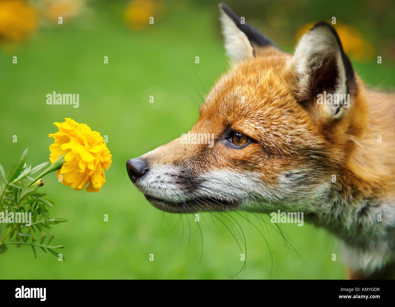 Closeup of a red fox smelling the flower marigold - Stock Image