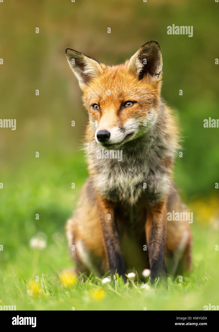 Wild male red fox sitting in the flowery meadow in summer, UK - Stock Image