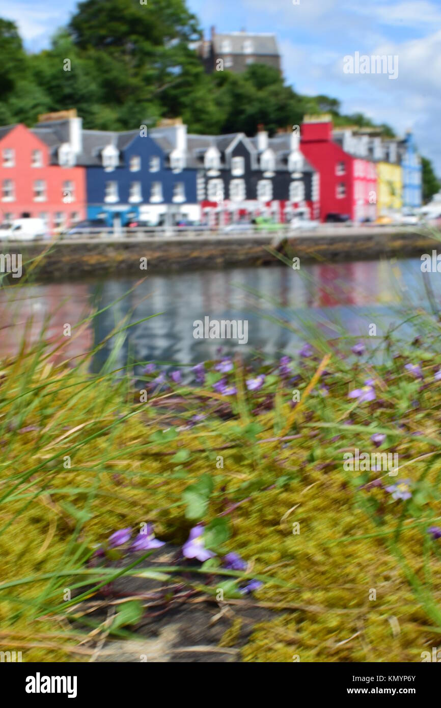 Wild flowers in foreground with colourful harbourside cottages at Tobermory, Isle of Mull, Western Scotland - Stock Image