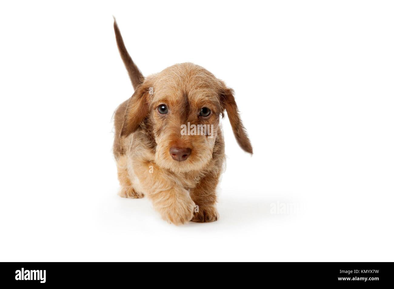 Wire Haired Dachshund Dog Walking Stock Photos & Wire Haired ...
