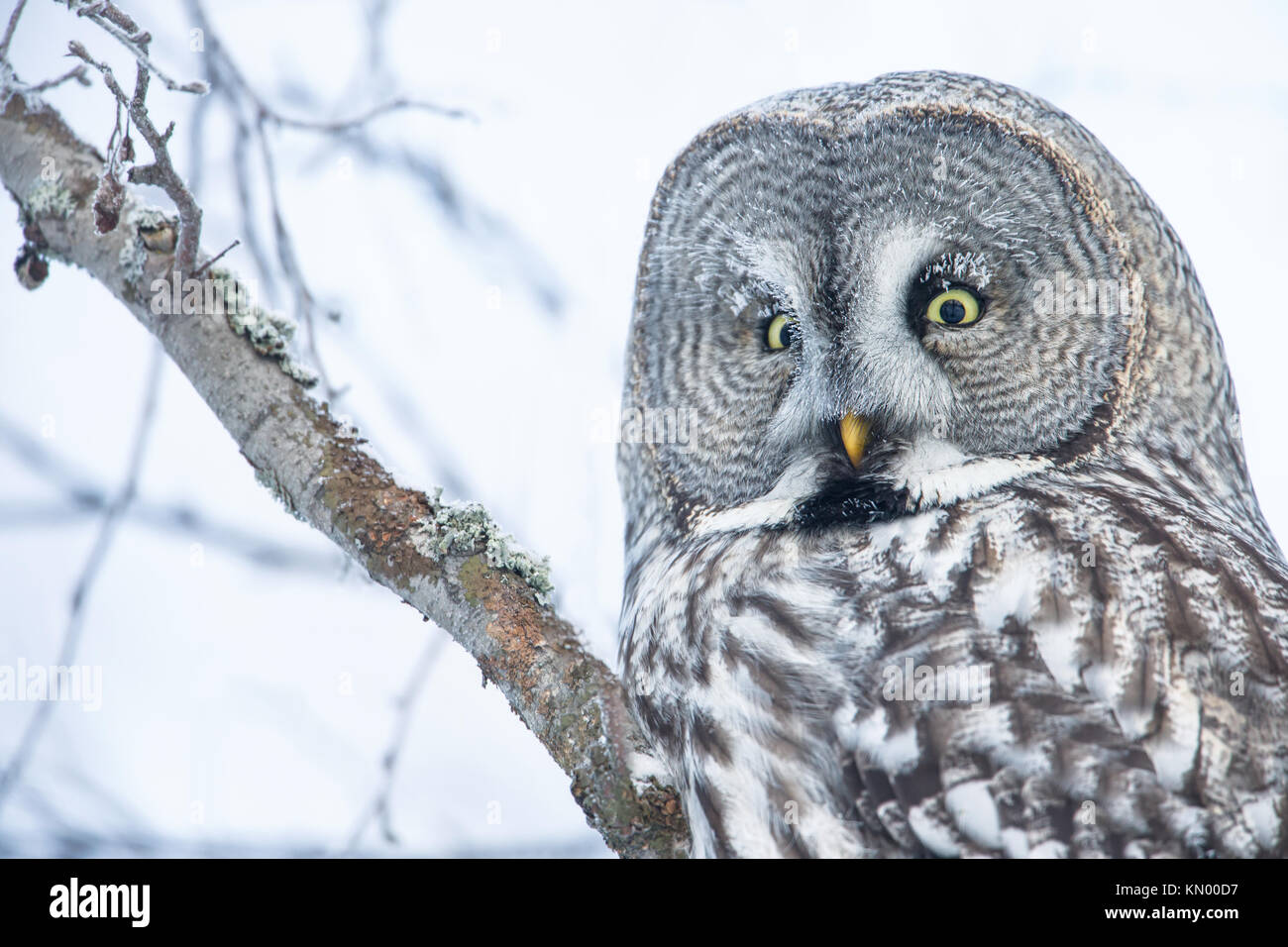 Close-up of a perching great grey owl in Finland, winter - Stock Image