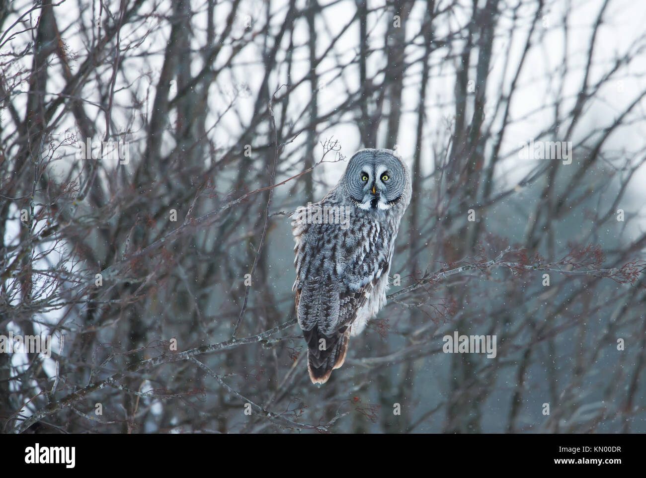 Great grey owl perching on a tree branch in winter, Finland - Stock Image